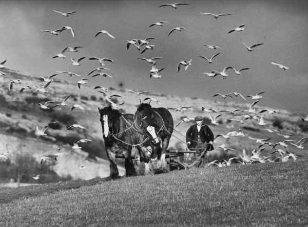 Seagulls Follow the ploughing at Warton near Carnforth,  Lancashire in January