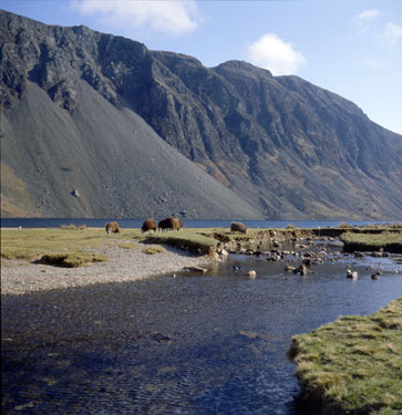 Sheep grazing on the shores of Wastwater, the screes behind