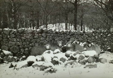 Sheep take cover from Snow
