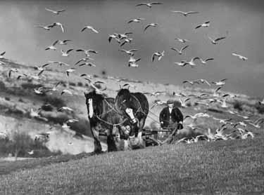 Seagulls Follow the Ploughing at Warton near Carnfo Lancashire in January